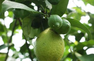 レモンの実の成長